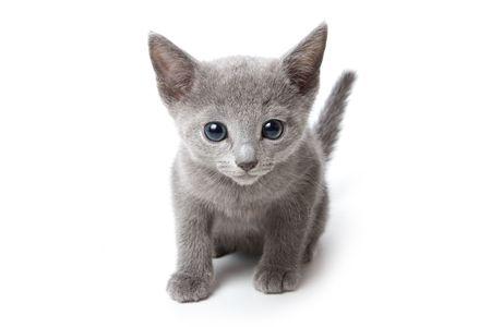 Russische Blauw katjes op witte achtergrond