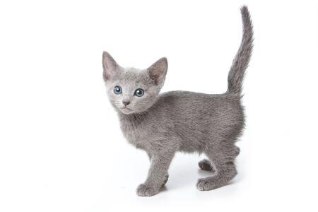 Russian blue kitten on white background photo