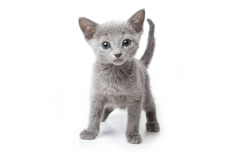 russian blue: Russian blue kitten on white background Stock Photo