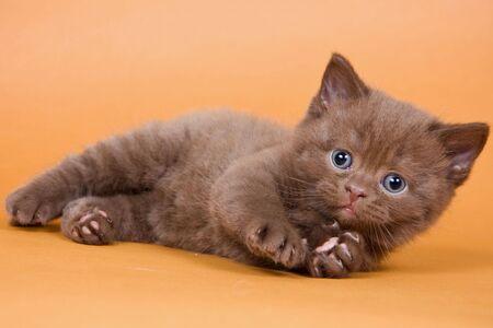 british pussy: British kitten on white background