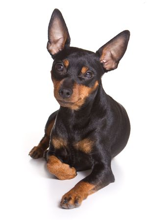 pinscher: Pinscher puppy on white background Stock Photo