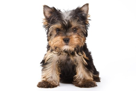 Yorkshire terrier puppy on white background photo