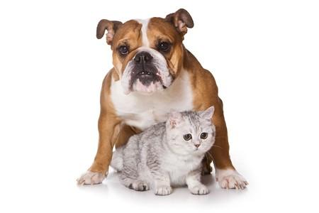 Bulldog op geïsoleerd op wit Stockfoto