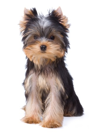 Yorkshire terrier puppy on white background Stock Photo - 7100378