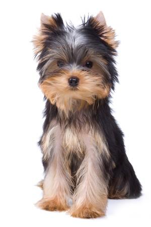 Yorkshire terrier puppy op witte achtergrond