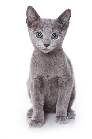 Russian Blue kitten on white photo