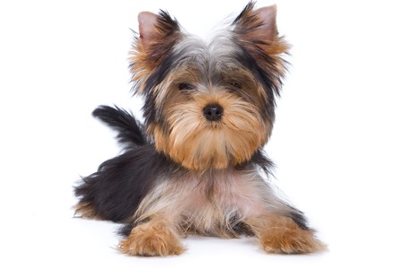 yorkshire terrier: Yorkshire terrier puppy on white background
