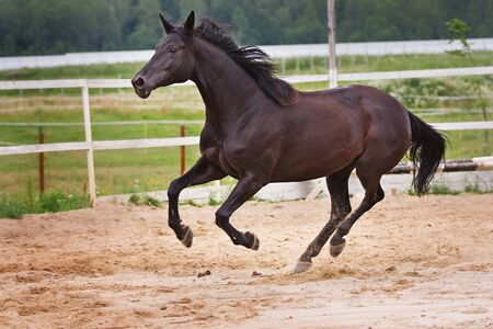 Running horse Standard-Bild