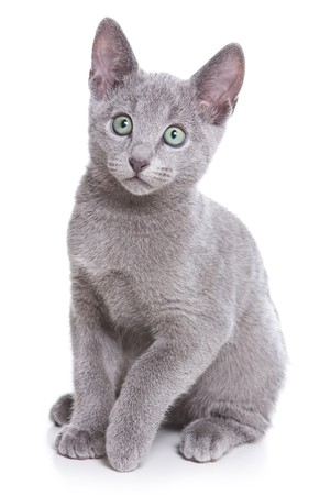 Russian Blue kitten on white Standard-Bild