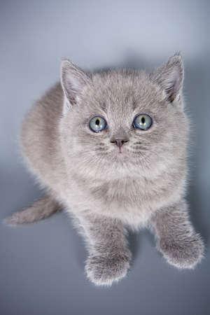 british kitten: British kitten on grey background