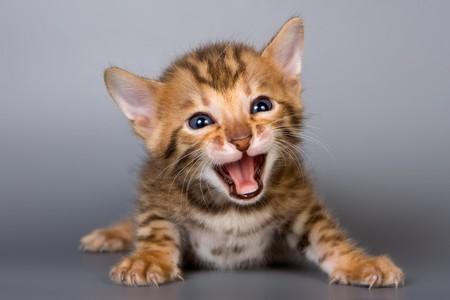 Bengalen kitten op grijze achtergrond Stockfoto