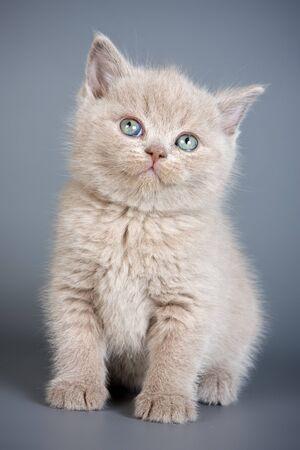 british pussy: British kitten on grey backgrounds Stock Photo