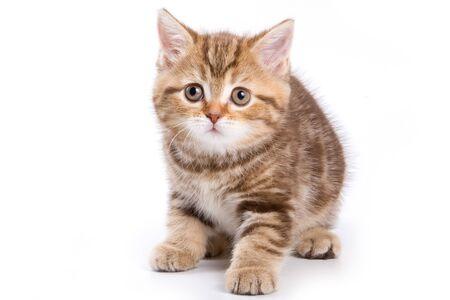 Britse kittens op witte achtergrond