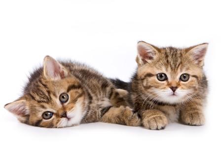 kitten: British kittens on white backgrounds
