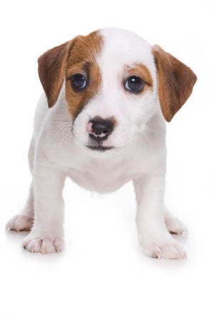 Jack Russell Terrier puppy op wit  Stockfoto