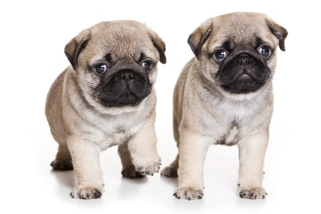 pug puppy: Pug puppy on white background Stock Photo