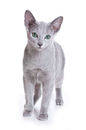 russian blue: Russian Blue cat on white