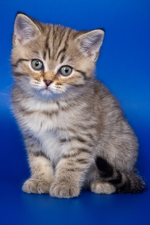 British kittens on blue backgrounds photo