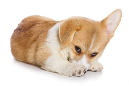 embarrassment: Corgi puppy on white background