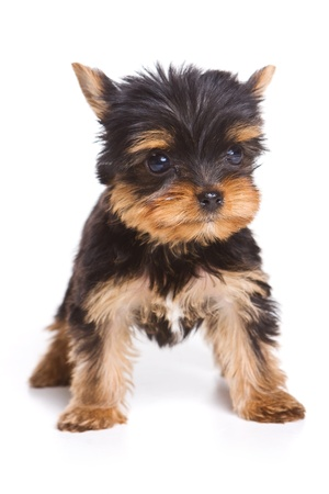 Yorshire terrier puppy isolated on white Banque d'images