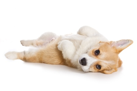 Corgi puppy on white background