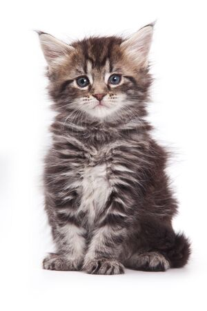 brown pussy: Siberian cat isolated on white