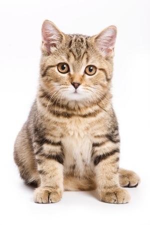 Britse kitten op witte achtergrond