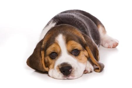 closeup puppy: Beagle puppy on white background