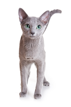 russian blue: Russian Blue isolated on white Stock Photo