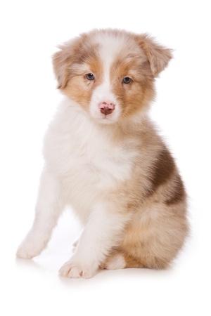 australian shepherd: Australian Shepherd puppy on white