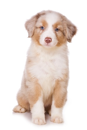 Australian Shepherd puppy on white photo