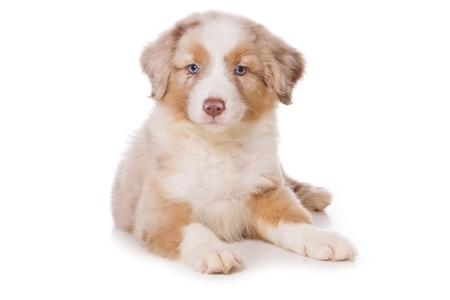 Australian Shepherd pup op wit Stockfoto