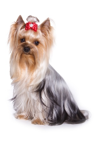 pet grooming: Yorkshire terrier aislado en blanco