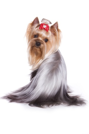 Yorkshire terrier isolated on white photo