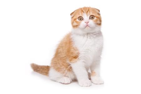 Scottish Fold kitten op witte achtergrond Stockfoto