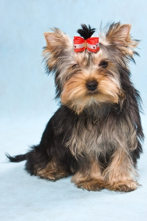 Yorkshire terrier puppy on blue photo