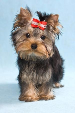 Yorkshire terrier puppy on blue