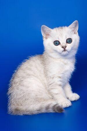 british kitten: British kitten on blue background