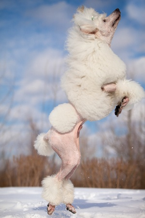 White poodle in outdoor settings photo