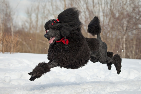 Black Poodle in outdoor settings photo