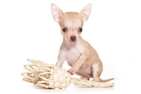 perro chihuahua: Perro Chihuahua sobre fondo blanco Foto de archivo