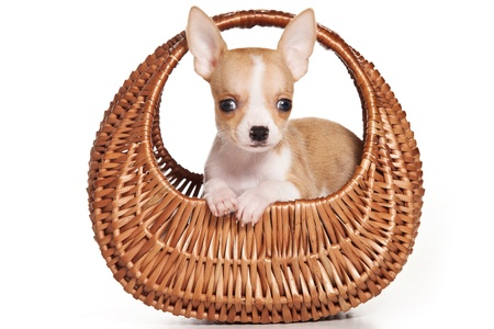 chihuahua dog: Chihuahua dog on white background