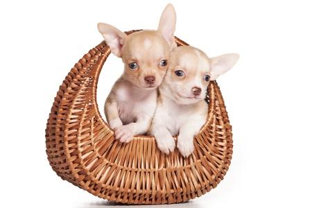 perro chihuahua: Chihuahua perro sobre fondo blanco Foto de archivo