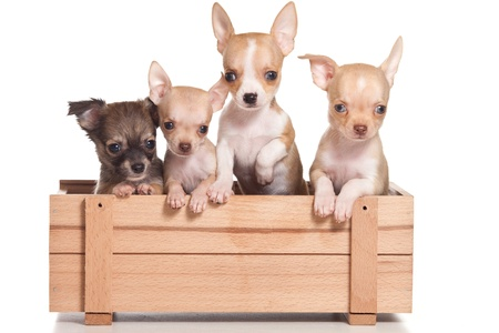 Chihuahua dog on white background Stock Photo - 9897049