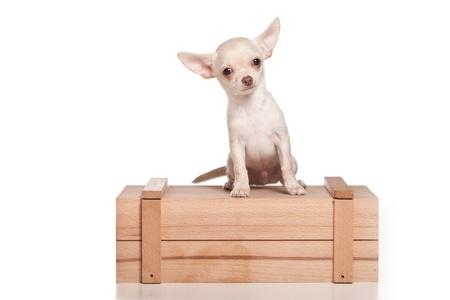 Chihuahua dog on white background Stock Photo - 9896771