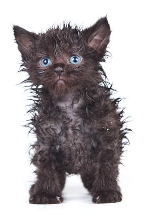 Little kitten in white background