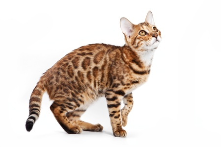 Bengal cat on white background Stock Photo - 9896820