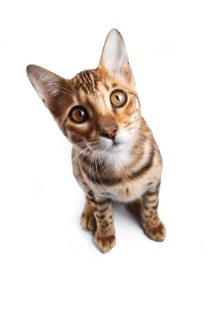 pussy cat: Bengal cat on white background Stock Photo