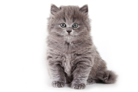 British kitten on white background Stock Photo - 9937315