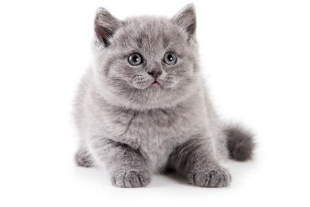 British kitten on white background Stock Photo - 9937313
